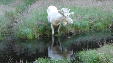 Weißer Elch Ferdinand