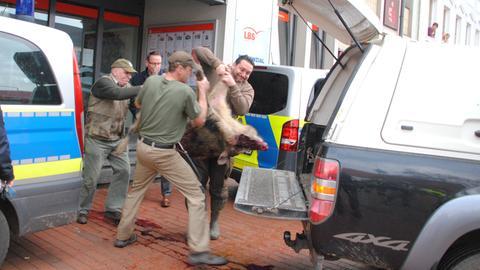 Totes Wildschwein wird in Heide in ein Auto geladen