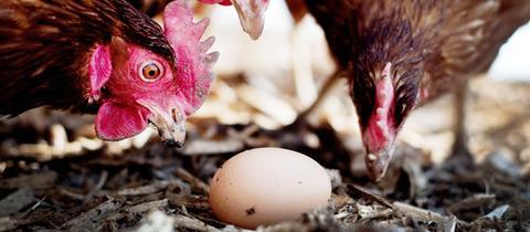 Drei braune Hühner betrachten ein auf dem Boden liegendes Ei.
