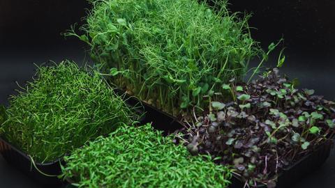 Microgreens Küchenkräuter