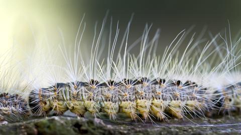 Eine Raupe des Eichenprozessionsspinners kriecht auf einem Eichenstamm entlang.
