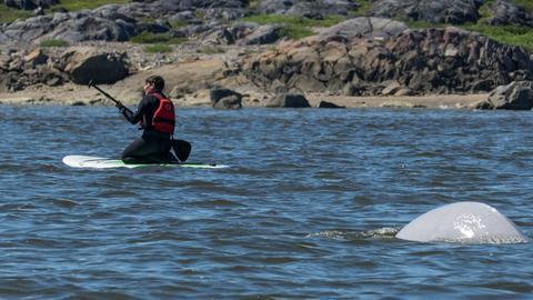 Reinhard Mink auf einem Surfbrett nah an einem Belugawal