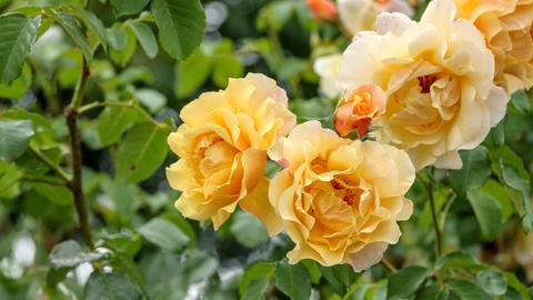 Gelbe Strauch-Rose, Strauchrose, Postillion (Rosa 'Postillion', Rosa Postillion), bluehend, Sorte Postillion.