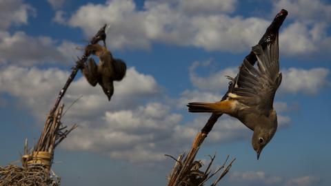 Vogelfalle Leimrute