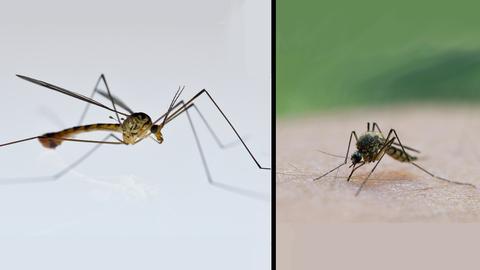 Schnake und Mücke