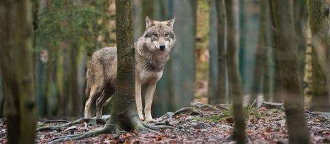 Ein Wolf steht zwischen Bäumen auf Laubboden.